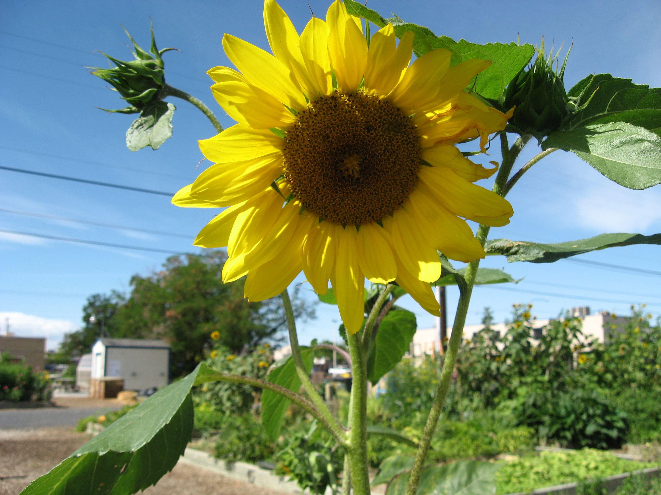 A sunflower blooms in the City's Community Gardens
